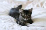 USA - Les chats à six pattes d'Hemingway sont sauvés