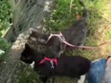Balader son chat : l'expérience du harnais
