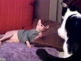 Un chat Donskoy joue avec un Européen