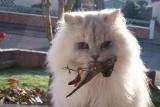 Suisse - Plus d'un million d'oiseaux croqués par les chats