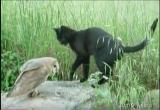 Amitié incroyable entre un chat et une chouette