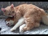 Le maine coon, un chat de race très câlin