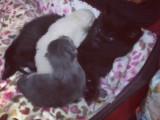Une chatte et sa fille élèvent leurs petits ensemble