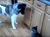 Un Akita Américain tenu en respect par un chat