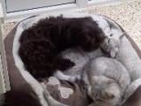 Des chats American Wirehair partagent leur panier avec un Bichon Bolonais