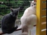 Un chaton Chartreux suit un Ragdoll