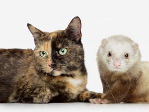 La première rencontre entre un chat et un animal d'une autre espèce