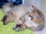 Un chat persan s'éclate avec une souris en peluche