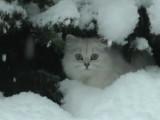 Un chat british longhair découvre la neige