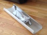Le quart d'heure de folie d'un chaton Burmilla