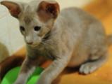 Des chatons Oriental Shorthair s'amusent