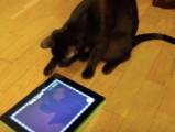 Un Havana Brown joue sur la tablette