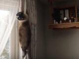 Un chat Snowshoe entêté