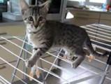 Des chatons Mau Egyptien bien perchés