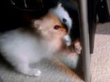 Un chaton Sibérien et sa maman