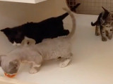 Des chatons Minskin s'amusent