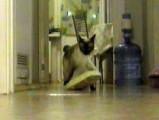 Un Bobtail du Mékong se fait attraper en flagrant délit