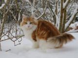 Le Norvégien un chat à la fois beau et robuste