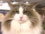 Saffran remporte le concours du plus beau chat de France