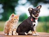Etats-Unis: Miley, une femelle chihuahua, a adopté quatre chatons