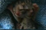 Un chaton à deux têtes naît dans l'Oregon