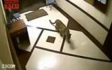 Inde : un léopard chasse un chien dans un immeuble