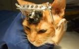 Scandale en Grande-Bretagne: des chats ont les yeux cousus pour des expériences