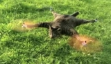Il transforme son chat mort en hélicoptère