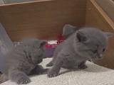 Trio de petits chatons chartreux