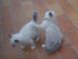 Des chatons Sacré de Birmanie très joueurs