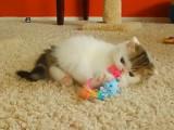 Un chaton Exotic Shorthair très actif