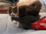 De magnifiques chatons Highland (Straight & Fold)