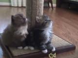 Des chatons ragamuffin en pleine découverte