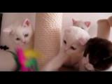 Des chatons Scottish qui jouent entre eux