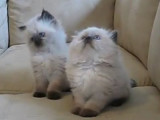 Deux chatons Himalayens (persan colourpoint)