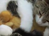Un chatte adopte des canetons