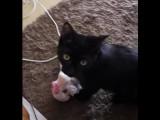 Un chat qui joue à rapporter son doudou