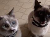 Deux chats Snowshoe très bavards