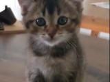 Un chaton Highland Lynx très mignon