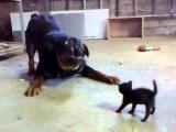 Un gros chien Rottweiler joue avec un chaton