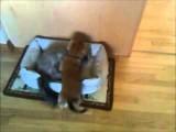 Un chien Teckel qui lutte avec un chat Angora