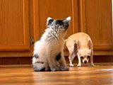 Un petit chien Chihuahua intrigué par un chaton bicolore