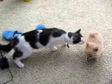 Un premier contact entre un chiot Poméranien et un chat