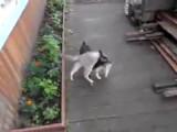 Un chien ramène un chat à la maison en le portant sur son dos