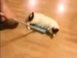 Un chat fan de curling!