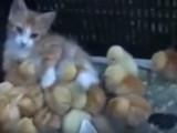 Un chat joue avec des poussins
