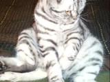 Un chat Foldex dans une position insolite