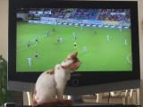 Un Turc de Van mordu de football