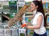 Un Bengal au supermarché