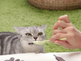 Un Scottish Fold attend son yaourt